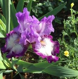 Bearded Iris - 3-r