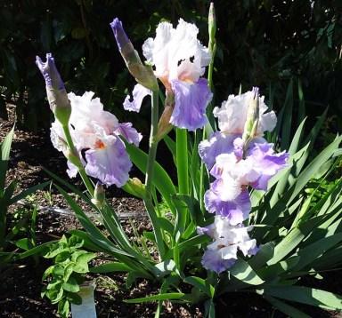 Bearded Iris - 3