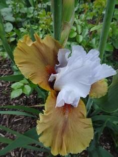Bearded Iris - 5