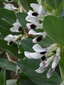 Broad bean flowers...