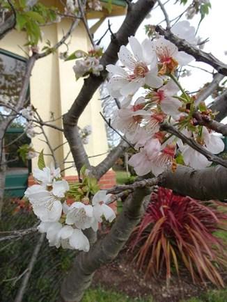 Flowering Cherry - 2