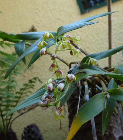 Orchid - 2