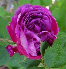 Climbing rose - name unknown...