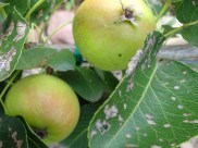 Paradise Pears in the garden - 2