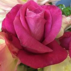 Rose1-r