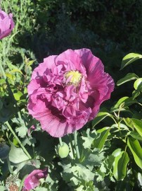 Self Sown Poppy