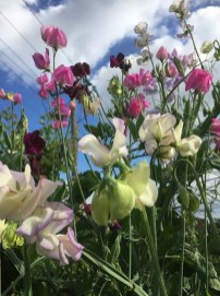 Sweet Peas in the Garden