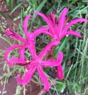 Mrs Collins's bright pink nerine
