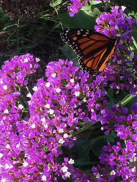 Monarch Butterfly on Statice (Limonium sinuatum)