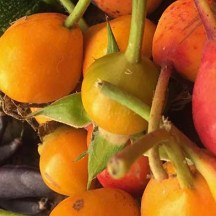 Bright, colourful rosehips