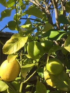 Lemons on the tree - 1