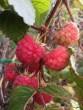The raspberries continue...