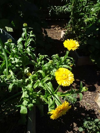 Calendula for the bees and our salads