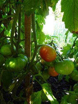 Tomatoes - Rouge de Marmande