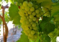 chenin-blanc-grapes