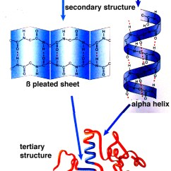 Peptide Structure Diagram Simple Nema 6 30r Wiring Showing. The Primary, Secondary, Tertiary And Quaternary Of Proteins | Biochem ...