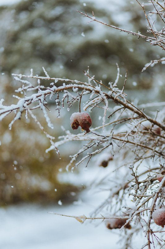 Pomegranates in the Winter – Anneka Purcell