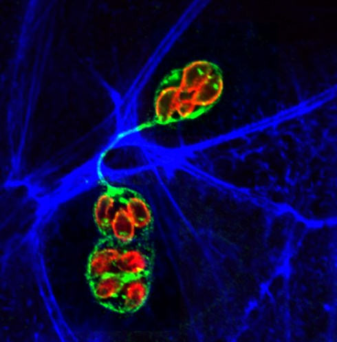 Toxo cell-cell communications