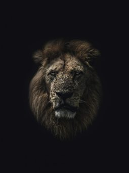 lion color 2-dark