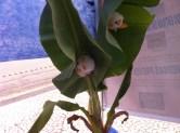 Réplicas de Ectophylla alba