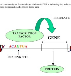 a simplified diagram explaining transcriptional regulation using transcription factors this is not an example of methylation or silencing  [ 1201 x 840 Pixel ]