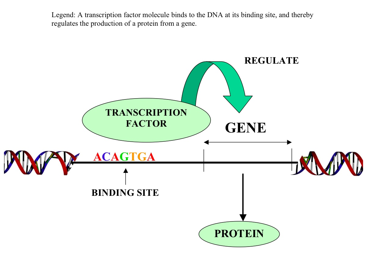 hight resolution of a simplified diagram explaining transcriptional regulation using transcription factors this is not an example of methylation or silencing