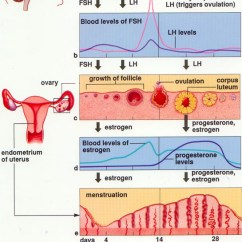 Menstrual Cycle Diagram With Ovulation 2007 Club Car Precedent Gas Wiring The Ovarian And Sbi4u 2013 Resource Guide As You Can See This Is Quite Complex First Part Of Explanation Will Have To Do