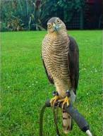 Late_Of_Flight_Sparrowhawks are quite common all over Europe Russia and Africa
