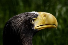 The Steller's sea eagle named Nikita, certainly has the power and strength to carry off and kill small dogs and cats, but mainly their diet is fish and ...