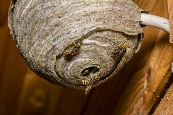 wasp_nest_l3