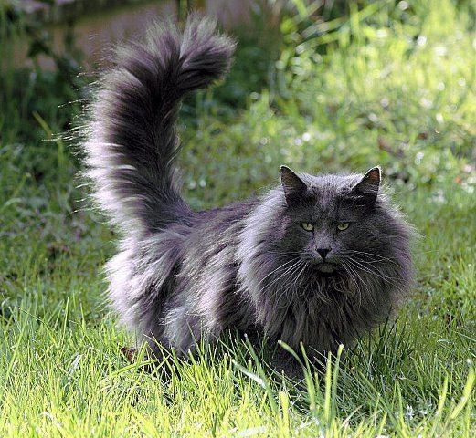 norwegian forest cats may