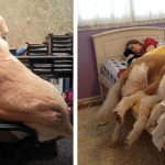 50 Adorable Giant Dogs Who Don T Realize How Big They Are