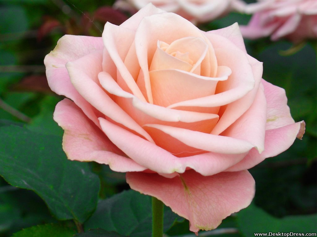 the meaning of rose