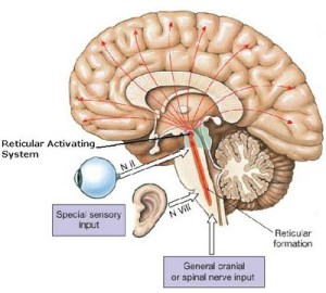 reticular-activating-system-function