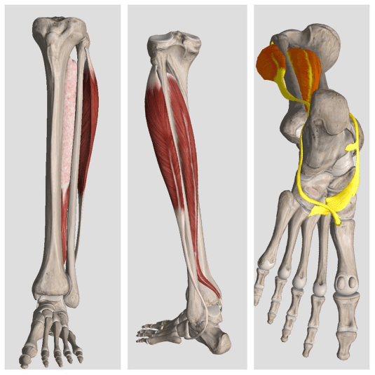 The Fibularis And Tibialis Posterior Muscles The More You Know The