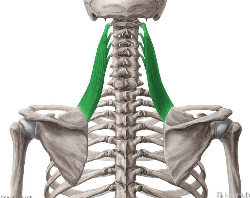 Know your Muscles Series - Levator Scapulae. - SBR Sport.