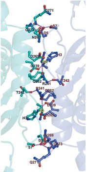 Details of the interactions at the interfaces. Interactions of helices α7 and the N-terminal loops in monomers 2 (blue) and 3 (cyan) on the second twofold-related interface.
