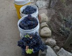 Grapes harvested from the Presidio Heritage Garden. Photo by Mike Imwalle.