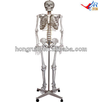 Iso Life Size Skeleton Model,180cm Medical Skeleton Model