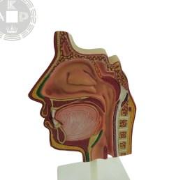 anatomical sinus model of human face sinus model respiratory system model [ 2000 x 2000 Pixel ]