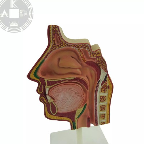 small resolution of anatomical sinus model of human face sinus model respiratory system model