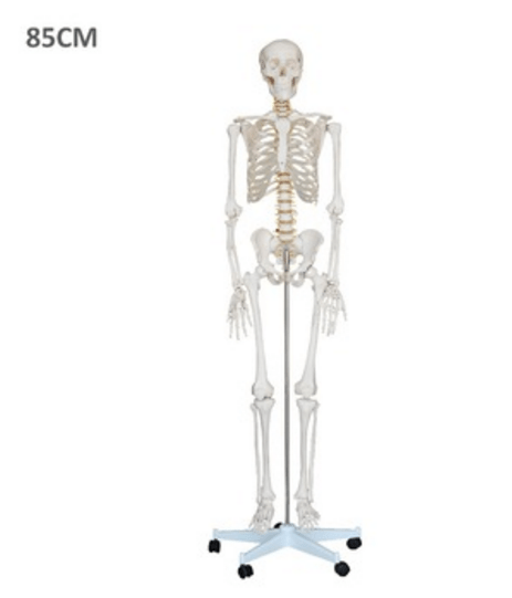85cm Human Artificial Plastic Skeleton Models With 200pcs