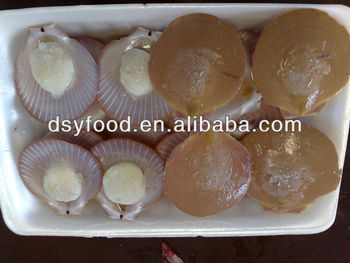 Frozen Sea Scallop Buy Scallop ShellScallop MeatFrozen