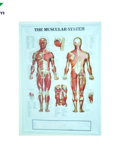 Medical  embossed poster for human anatomy chart also buy rh alibaba