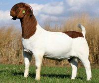 Boer Goats,Sheep,Calf,Lamp,Horse Available