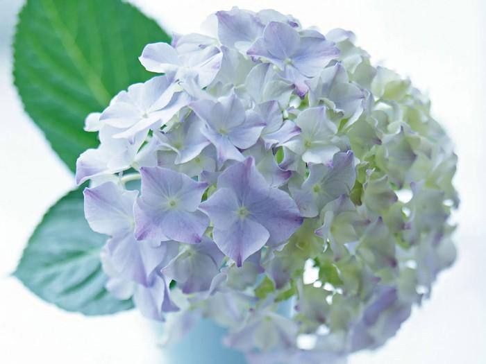 植物桌布 - 花卉攝影-繡球花桌布