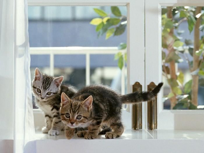 動物桌布 - 可愛貓咪