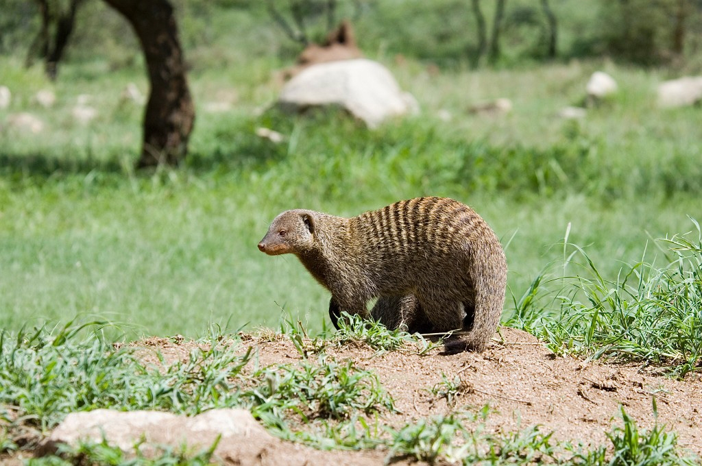 Image result for banded mongoose