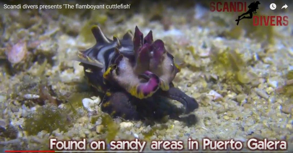 Flamboyant cuttlefish scandi divers resort puerto galera