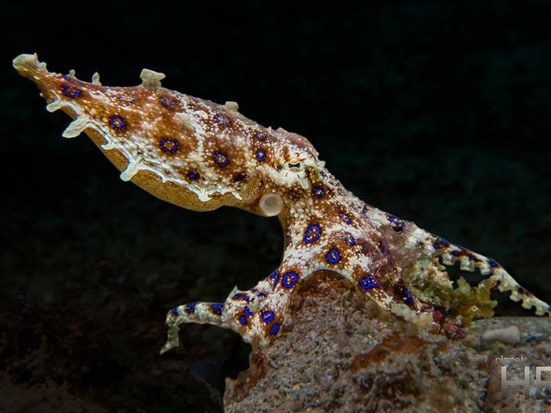 blue ring octopus puerto galera